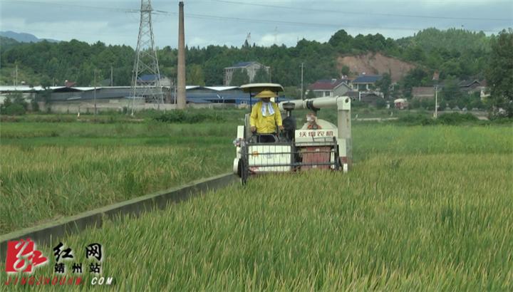 靖州2020再生稻现场测产观摩会召开