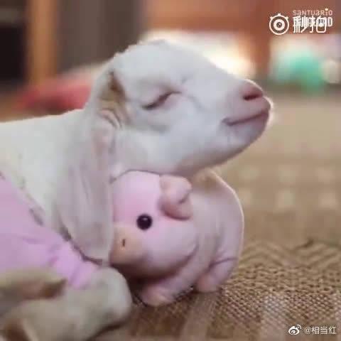 每次睡觉前都要抱着小猪布偶的小羊Jasmin……