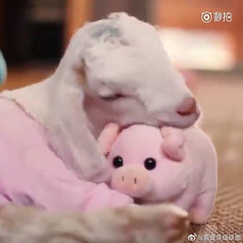 救助站里的小羊Jasmin,最喜欢一只小猪玩偶,每次睡觉都要抱着……
