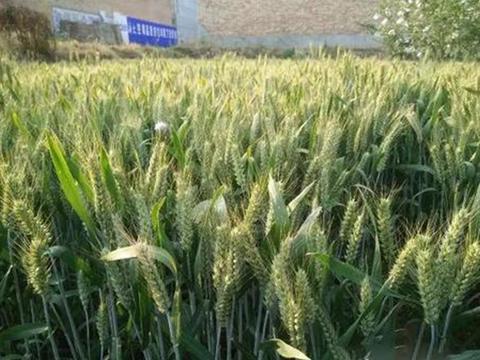 超高产的冬小麦品种,比普通小麦每亩增产150公斤,亩产超855公斤