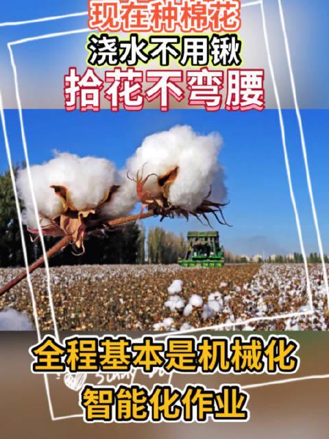 惊讶!在新疆棉田里,却少见棉农躬身劳作的身影!