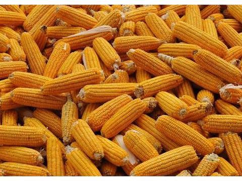 特别关注:小麦玉米到货骤减进入休眠期,行情能不能由绿转红?