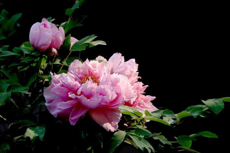 心理测试:选一朵你最喜欢的牡丹花,测你后半生是不是个有钱人!