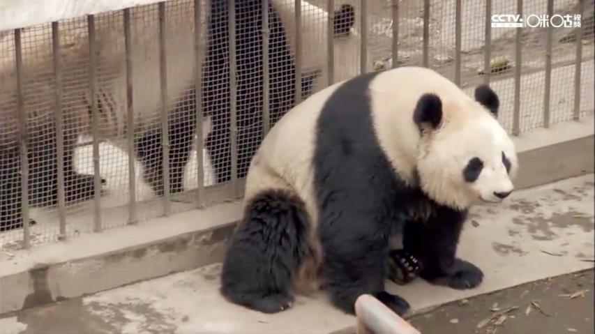 熊猫间的爱恨情仇,超乎你的想象