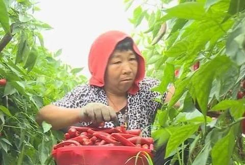 大田集镇:五万亩辣椒进入采收期