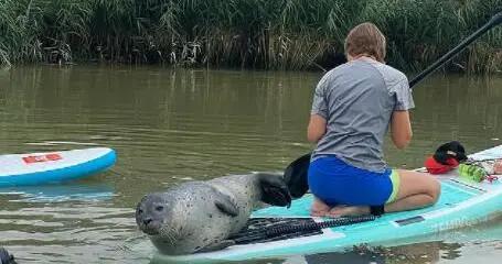 """可爱海豹爬上桨板""""搭便车""""和冲浪者一起顺河而下"""