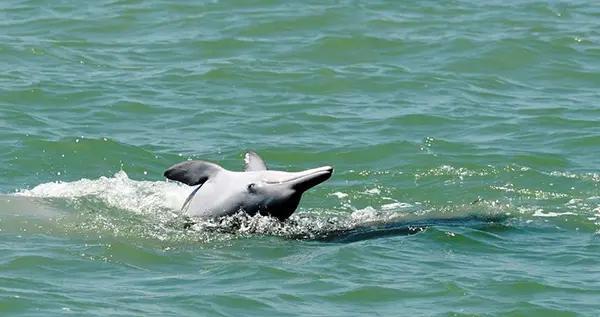 泰国湾海域发现短吻海豚和中华白海豚稀有物种