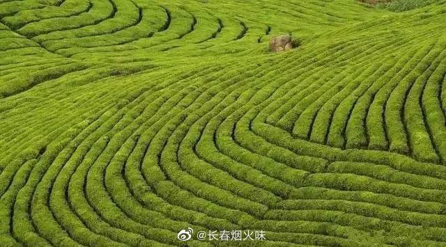 东白山茶场 远山已退去铅色,舒缓的线条……