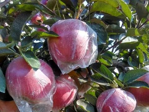 【原创】明月苹果接穗大量外流,将会带来怎样的后果?(二)