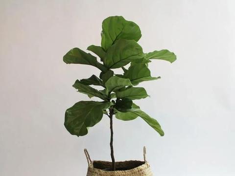 看完琴叶榕的两大缺点,你还会想想这种大型盆栽观叶植物吗?