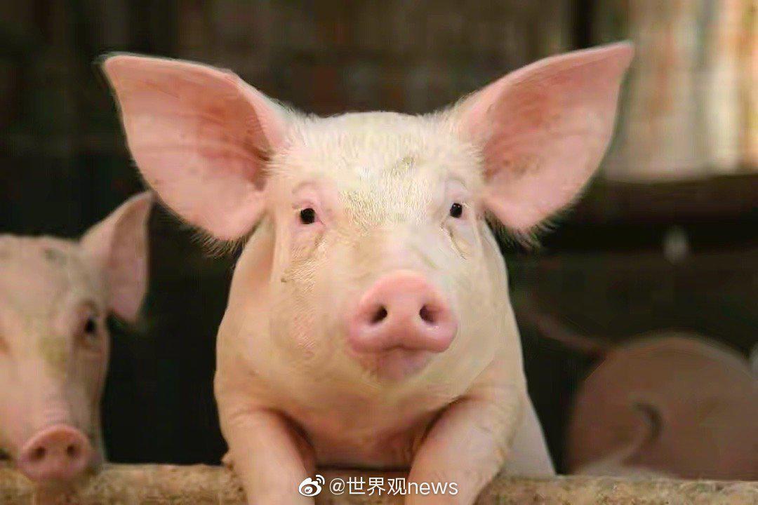 日本岐阜县2018年9月爆发典型猪瘟……