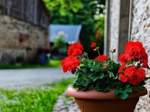 天竺葵结实率低怎么办?改用嫩枝扦插繁殖,即可开花,花开满盆