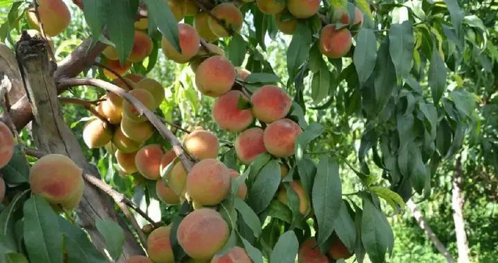 """新疆和静县阿力腾布鲁克村的农家小""""土""""桃,10天销售近400吨"""