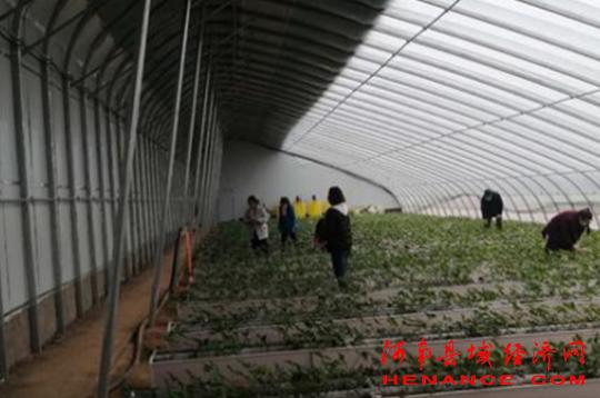 11选5全天免费计划:焦作市中站区大洼村:小杂果大产业