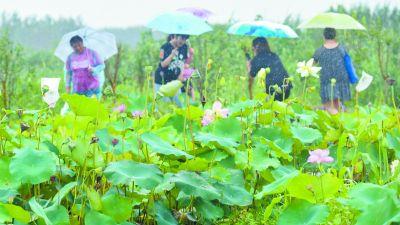 南京栖霞:万亩荷塘绿坐在