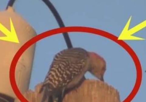 啄木鸟狂啄电线杆,瞬间被高压电击中,化作一缕青烟直接消失!
