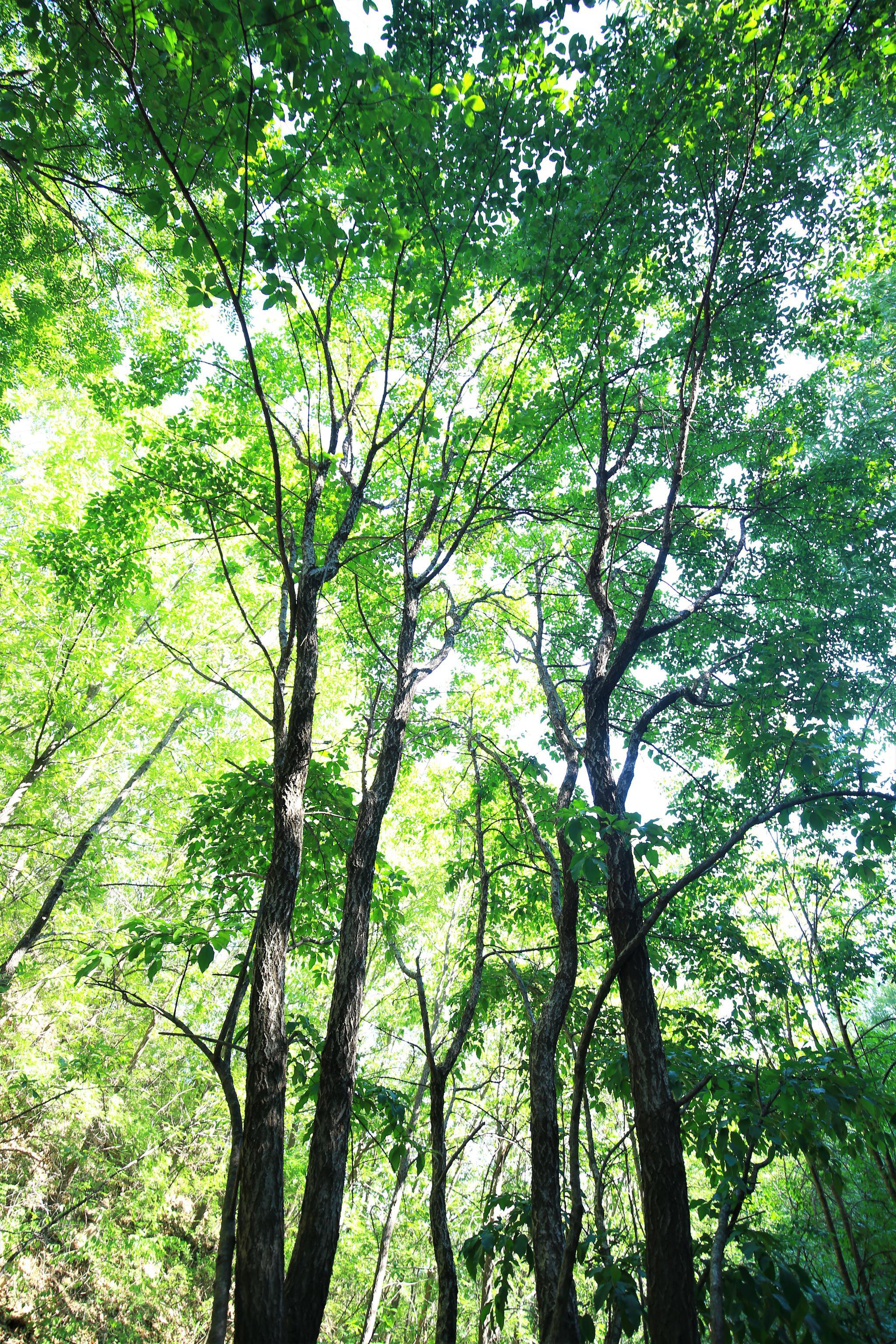 古树见证生态文明成效 美丽乡村嬗变图片