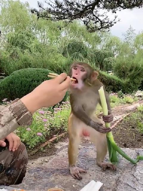 我滴个神啊!这是哪里的猴🐵也吃葱蘸大酱