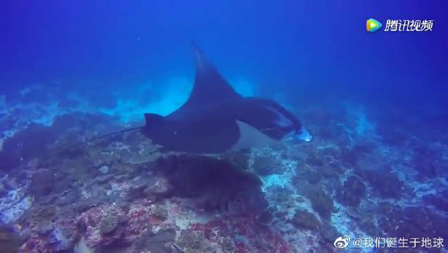 蓝梦岛潜水偶遇manta,大家害怕这种鱼类不?
