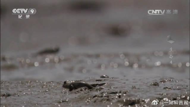 弹涂鱼巢呈U形,洞底孵化鱼卵,雌鱼在出口吸收空气游回巢内释放