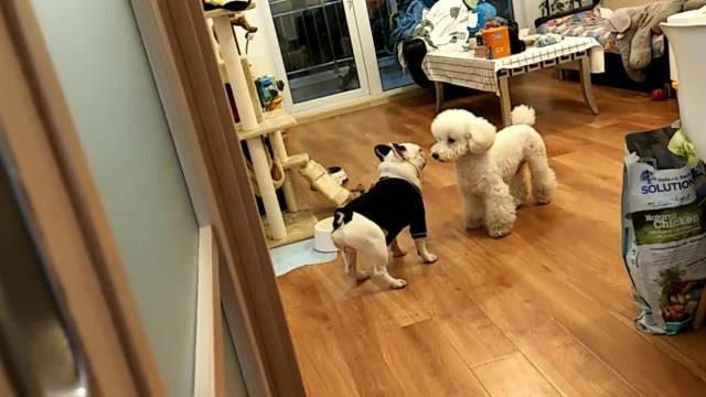 两只狗发生了量子纠缠