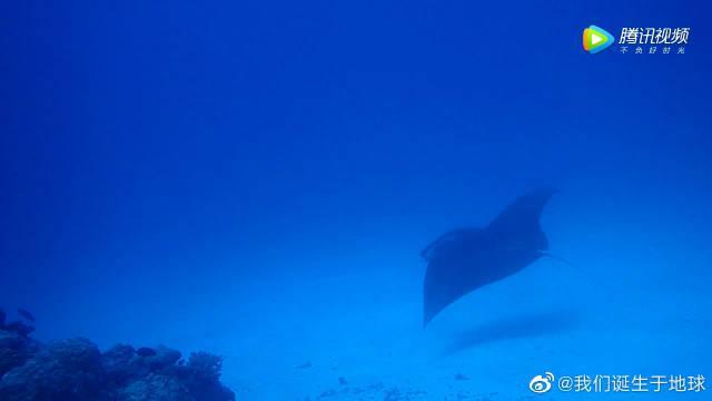 慢慢悠悠的海底君子manta,它很优雅,而又从容不迫