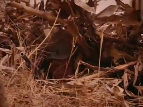日军一个中队上山搜索,八路军用玉米秆作伪装暗藏重火力歼敌!