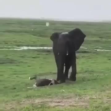 当母象生完小象,象群就会围起来防止受到攻击,很神奇的物种