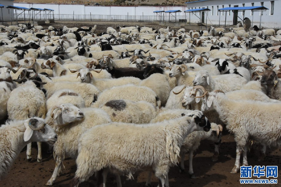 """鱼嫩羊肥让亚东群众生活""""鲜""""味十足图片"""