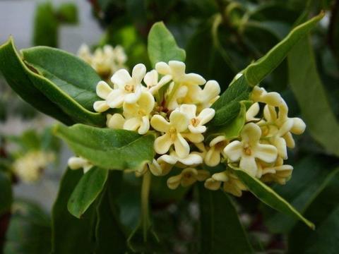 提前开花的桂花树,保证秋天的开花量,要做到这点,花开满枝头