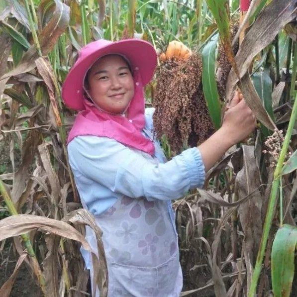 春种红高粱  秋数红票子||安龙县龙井村高粱产业发展侧记