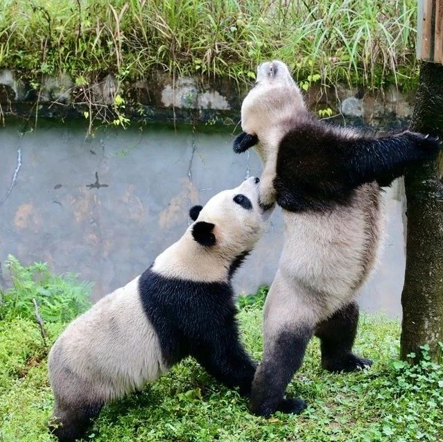 """一大波萌照袭来,即将来河南的熊猫""""灵岩""""""""迈迈""""今日启程"""