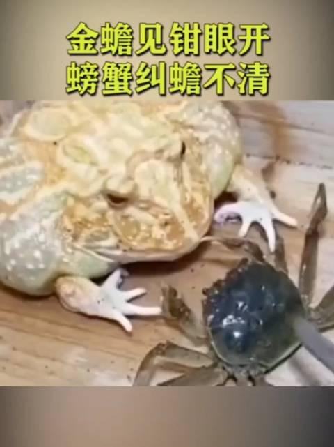 金蟾 见钳眼开 螃蟹 纠蟾不清 这是遇到了对手