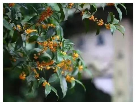 桂花香,才是秋天的灵魂 桂花 藕粉 木樨 桂花糖 桂花树 桂花蜜