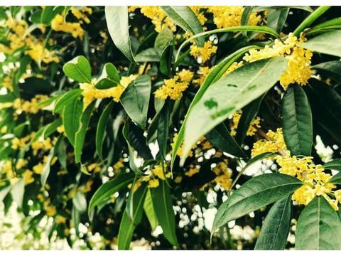 余庆的桂花,香香香香香香香 花瓣 桂花 余庆 桂花树 芬芳