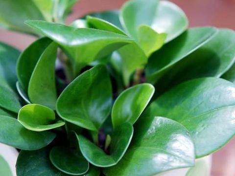 办公室植物不妨试试豆瓣绿,盆栽、水培都好看