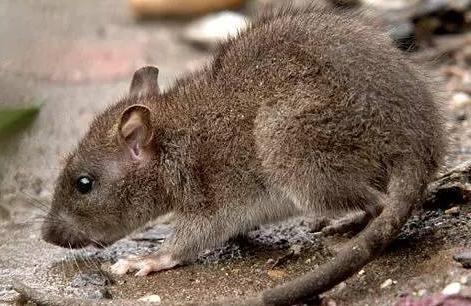 加拿大哪儿的老鼠最多?多伦多居首,华人区惨上榜,排名十四