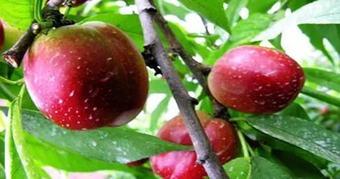 黑龙江甘南县:特色林果产业旺 脱贫质量高