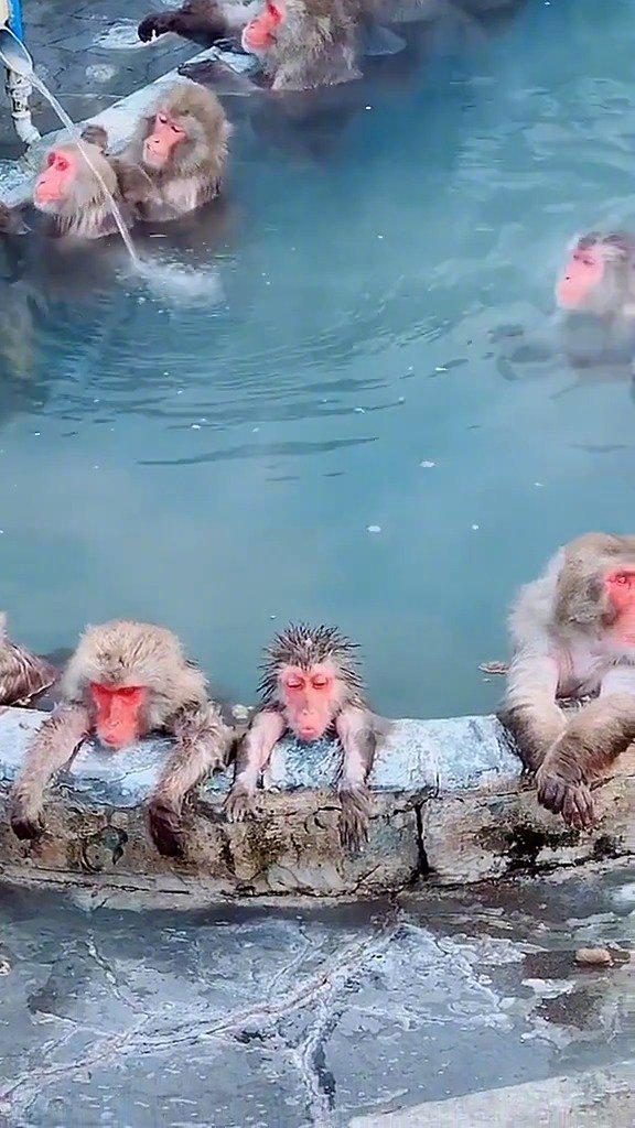 北海道的猴子也太酥糊了~ 享受温泉的快乐生活