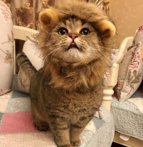主人给猫咪做发型,却意外的做成了狮子头,网友直呼萌呆了