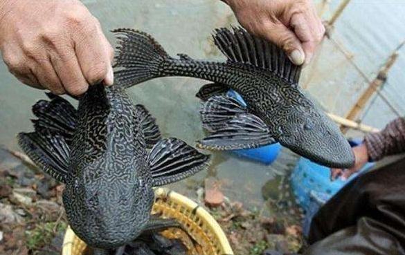 """广东人都不吃的""""垃圾鱼"""",到了越南却成了宝贝,吃法实在太花了"""
