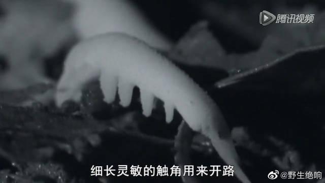 """天鹅绒虫喷射黏液似""""洒水车"""",还能闪电捕获蟋蟀~"""