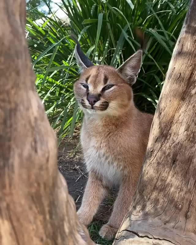 狞猫怎么叫.狞猫的低语 wildcatcentre保护中心 by Nat Geo WILD