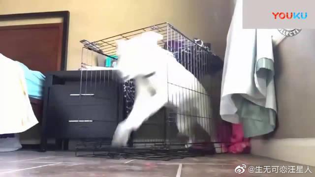 为了自由, 猫猫狗狗越狱也是拼了! 但我就服哈士奇