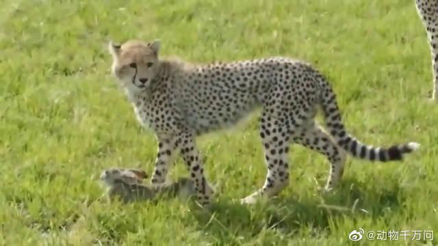 小猎豹童心未泯,孤单寂寞,妈妈抓只野兔给它当玩具!