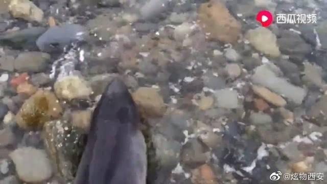 狗狗发现了一只搁浅的小海豚,呼唤主人来拯救!