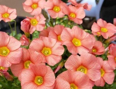4种花养家里,四季都有花赏,满屋子飘香,养盆放阳台美极了