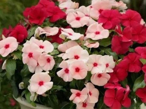 家养这些植物,阳台开出花海,花大色艳,家中常常有花赏