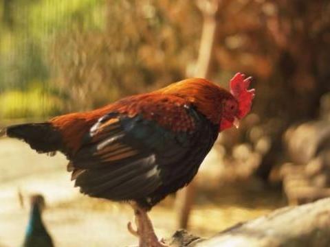 生肖鸡:12个月份12种命,你出生于哪个月,后半生就是什么命!