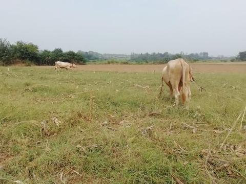 怎样养殖黄牛赚钱,乡农给你给你谈点经验